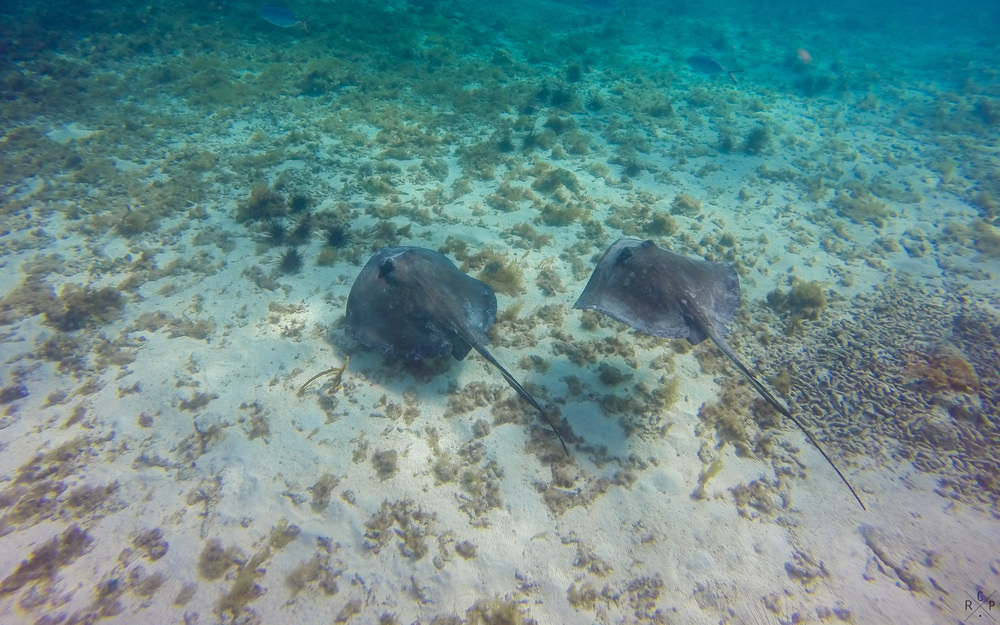 Stingrays - Sandy Island, Carriacou, Grenada 11/05/2016
