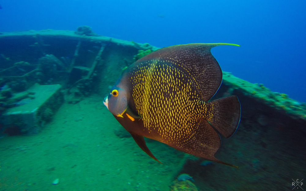 French Angelfish - Fran Jack Wreck, Jacques Cousteau Underwater Reserve, Guadeloupe 10/04/2016