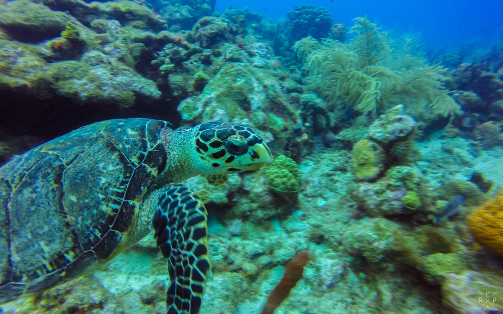 Tommy Turtle - Jacques Cousteau Underwater Reserve, Guadeloupe 18/03/2016