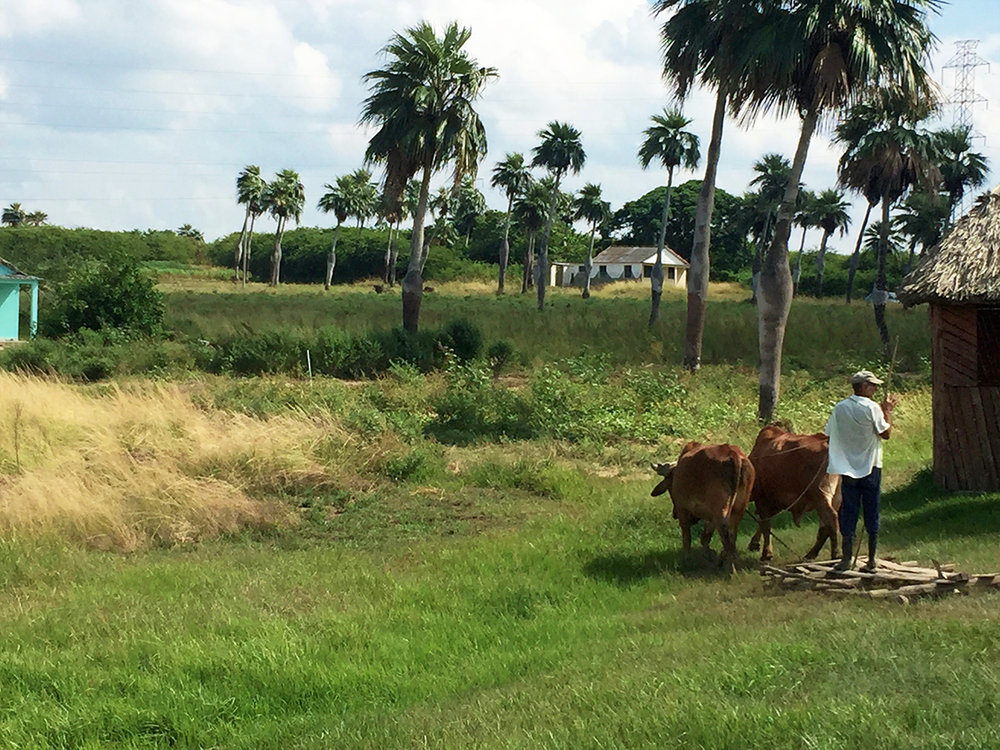 Vinales Cuba oxen travel.jpg