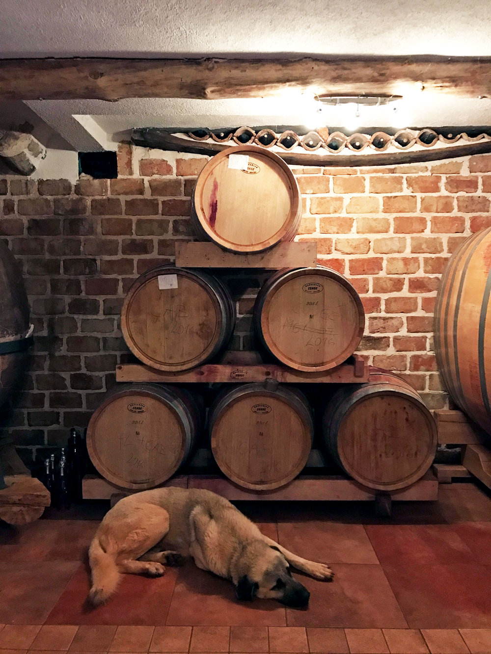 trusty dog protecting the wine barrels