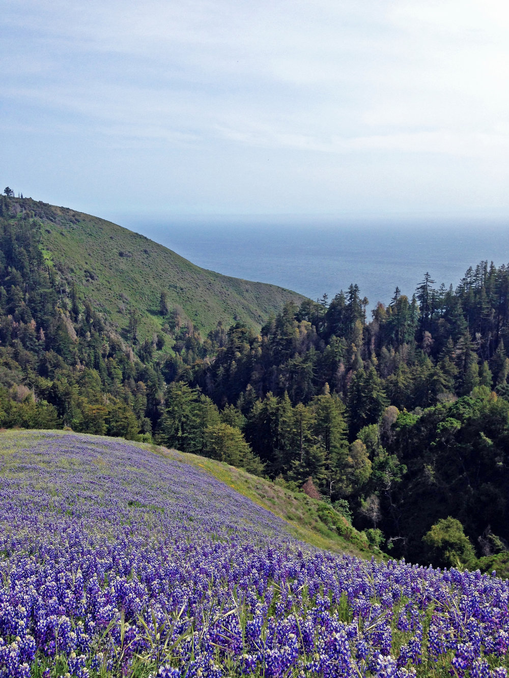 a field of lupin flowers with views of the pacific ocean in the distance