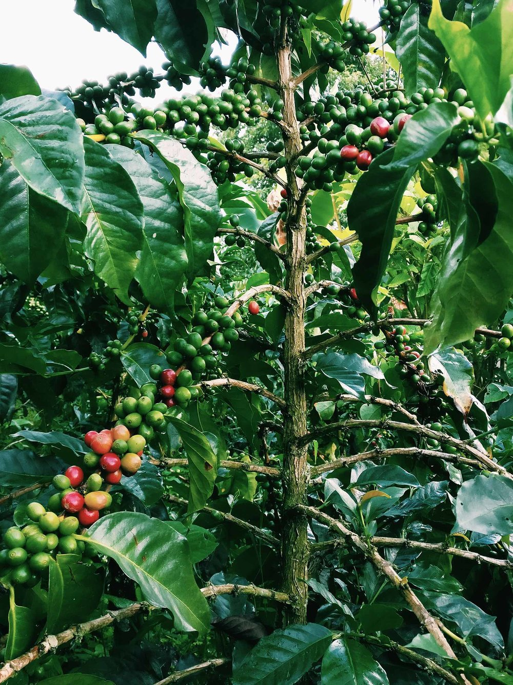 Colombia coffee plant