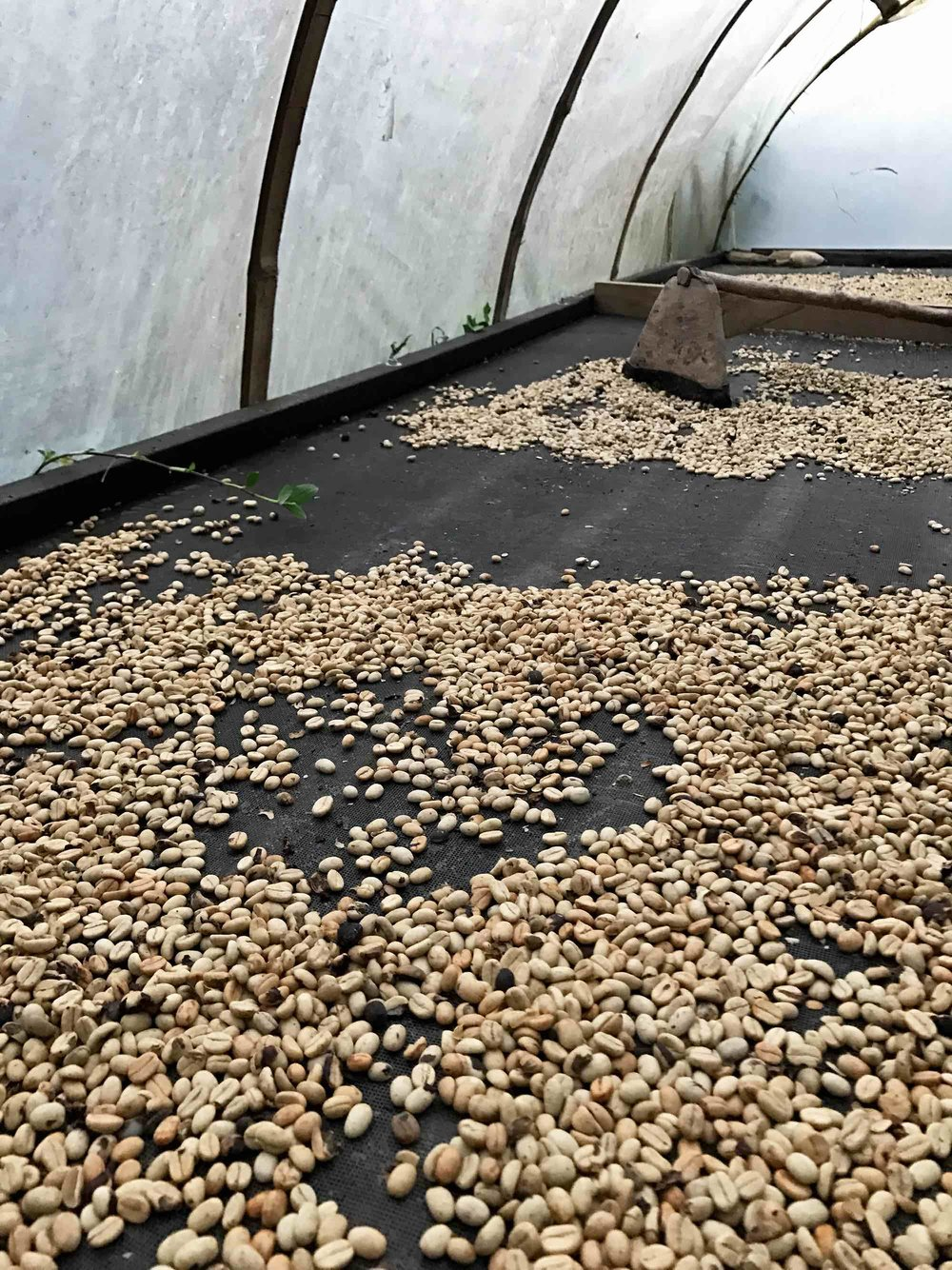 Drying coffee in the coffee region of Colombia