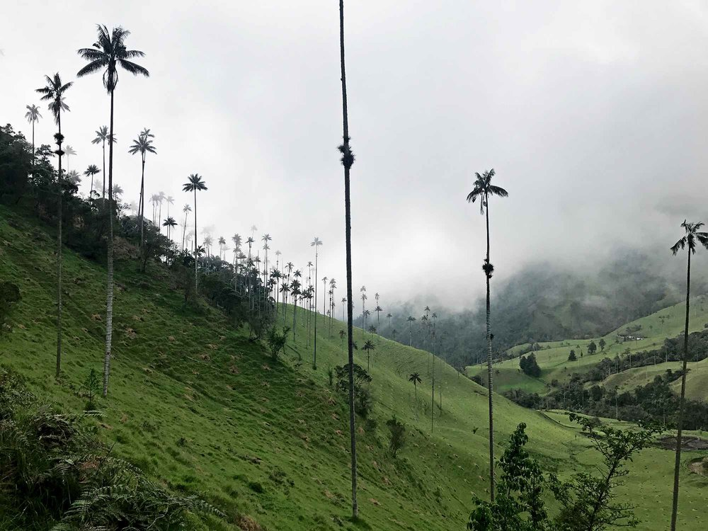 Wax Palms, the World's Tallest Palm Trees | Cocora Valley, Colombia