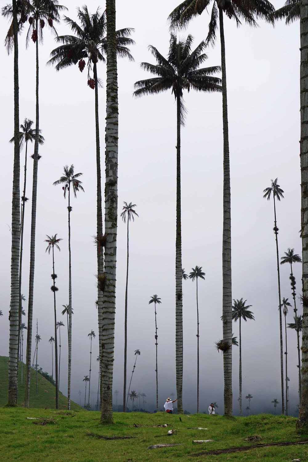Wax Palms | World's tallest palm tree in Valle de Cocora, Salento, Colombia