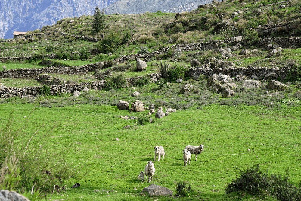 Colca Canyon Peru hike sheep