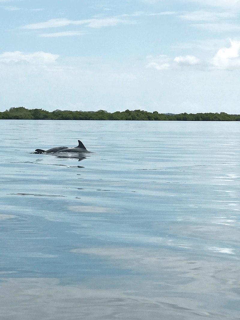 dolphins in Bocas del Toro, Panama
