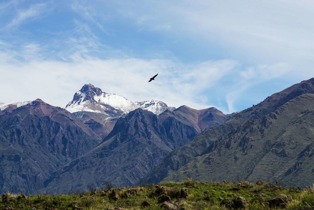 condor flying in Colca Canyon Peru