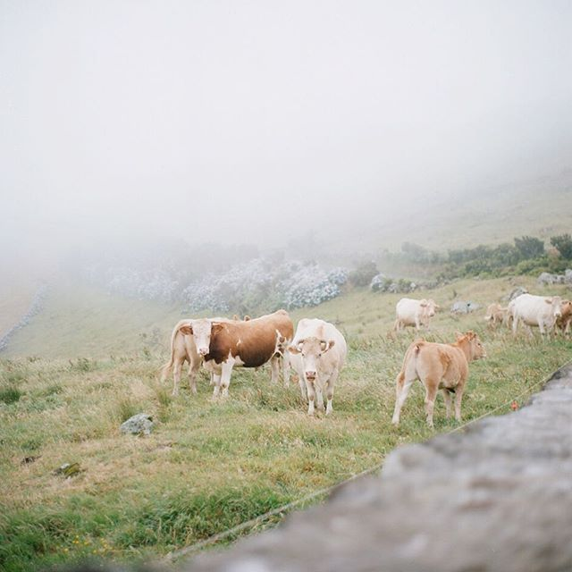 See all the hydrangeas behind the cows? In the Azores they use hydrangea bushes as fencing to keep the cattle from roaming because they won't eat it!  How amazing is that?!? ⠀⠀⠀⠀⠀⠀⠀⠀⠀ #filmshooter #filmisnotdead #istillshootfilm #ishootkodakfilm #honeymoonintheazores #rolleiflex