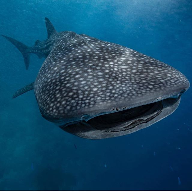 Join us  in Mexico , Isla Mujeres! Whale sharks , mantas and  Sailfish - Fastest fish in the ocean ! @hamiltonunderwater  @yogawithkris and I will be guiding few days in Mexico (Mujeres & Cancun) from the 28th of January till the 1st of February 2019 - 5 days in the water ( you need to arrive in Cancun on the 27th of Jan and depart on 2nd of Feb). Small group of just 6 guests- we will help you to take best photos and videos and develop your freediving as well as daily yoga  During January and February Sailfish congregate in the area and the experience is unique. Given the characteristics of the feeding frenzy (high speed) and shallow depth, sometimes with many sailfish together hunting a bait ball, the trip is snorkel/ freediving and good swimming is required. If weather is bad we might look at doing Cenotes or Bullshark diving. Please contact via DM for more details. ""