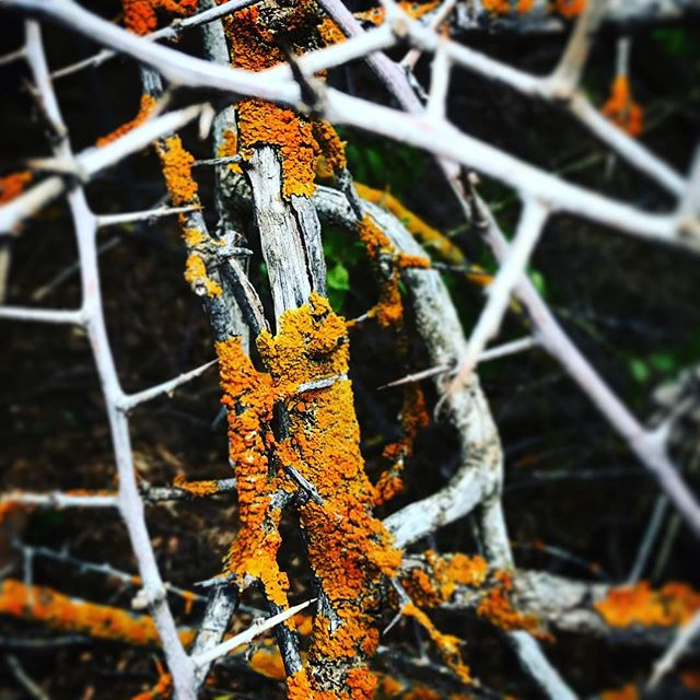 Lichen and thorn.