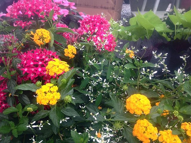 """We have new 6"""" annuals, 10"""" mixed containers, and hanging baskets in stock! Our lantana and penta mix loves full sun on these hot summer days."""