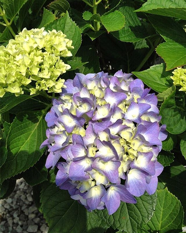 """All hydrangeas love water. Their name comes from the Greek """"hydra"""" meaning """"water"""" and """"angeon"""" meaning """"vessel."""" Hydrangea leaves sag when the plant is too dry, telling you they need water. The leaves also go limp in midday heat, so wait until evening to see whether they recover before you water them!"""
