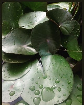 Perennial water lilies are hardy year-round and produce white flowers from summer into fall. Along with annual papyrus grass, we've got some great aquatic plants in stock for your pond or water feature!