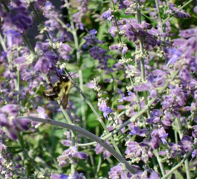 Attract pollinators such as butterflies and honey bees with our bright Butterfly Weed and Little Lace Russian Sage!