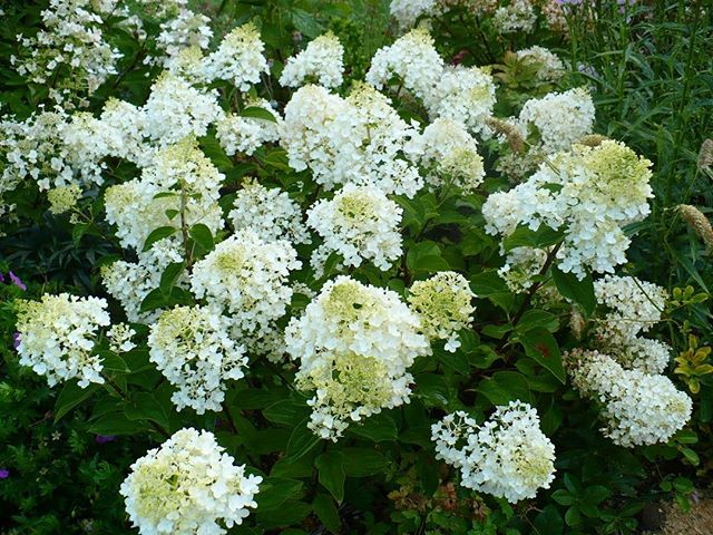 New in stock: flowering perennials and sun-loving Bobo Hydrangeas! These abundant white summer flowers turn pink in the fall and bloom year after year.