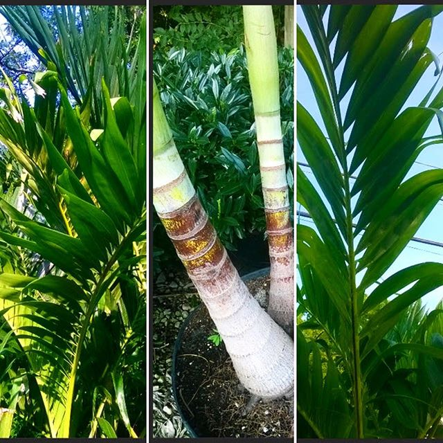 Mid-summer sale! Adonidia Palms now 50% off - plant some shade for these hot summer days ☀️