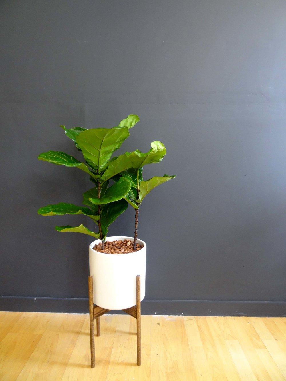 Junior Fiddle Fig Leaf Tree