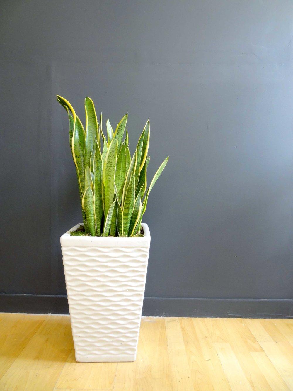 Medium Snake Plant