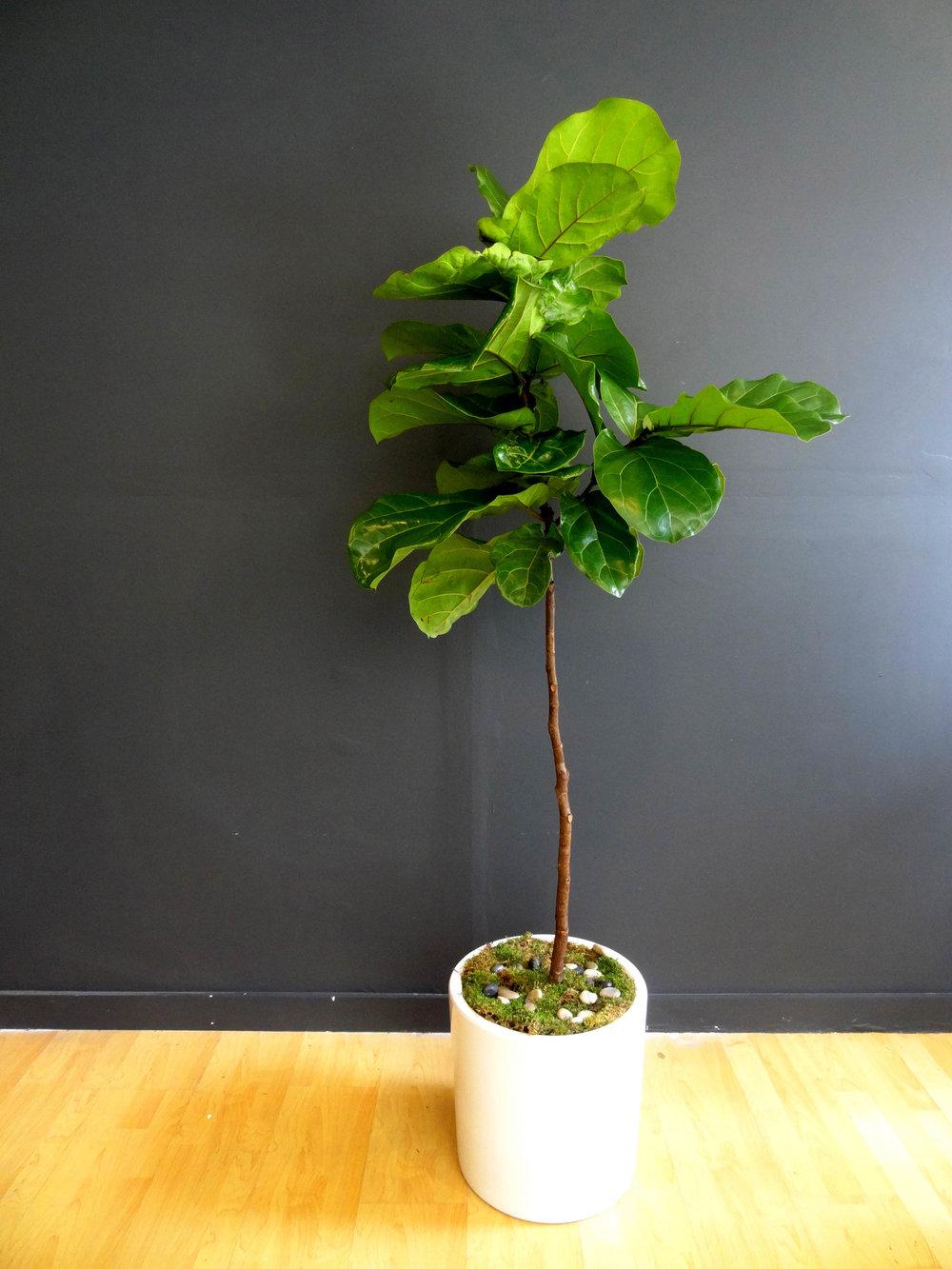 Large Fiddle Fig Leaf Tree