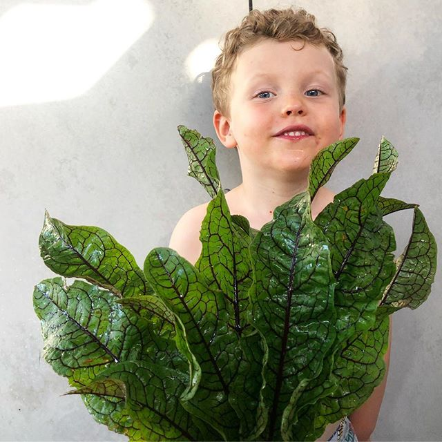 RED VEINED SORREL so big it hides 3 year olds #growyourown #gardenpatch #produce  #dallynandkerr  #dallynandkerrcatering #sydney #weddingcatering #bespokecatering #northernbeaches #supportlocal #smallbusiness #foodstagram #igfood #goodeats #foodie #foodbloggers #instafood #delicious #fresh #food #foodphotography #eatright #foodstyling #foodlove #foodvsco #foodpics #foodlover #foodgram #foodshare