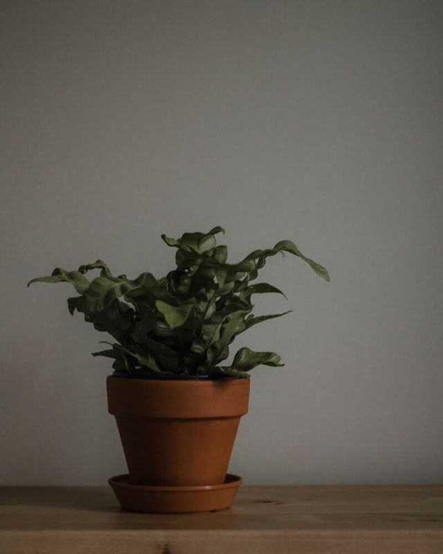 New plant mood 🌱 #greenery #subjectlight #livefolk #moody #stilllife #fern #birdsnestfern