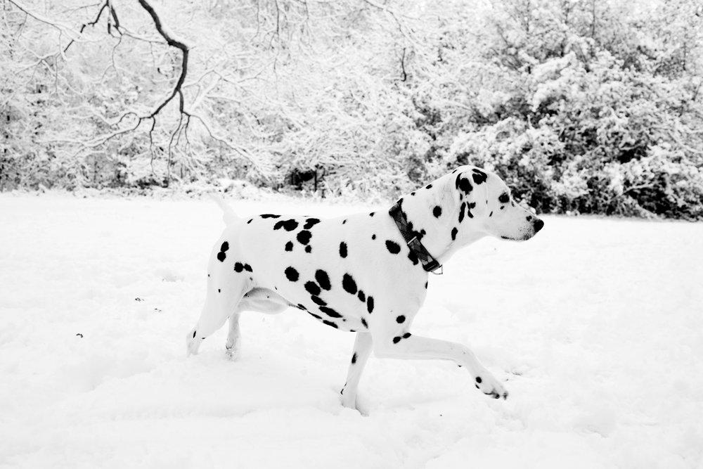 Dizzy, Dalmatian