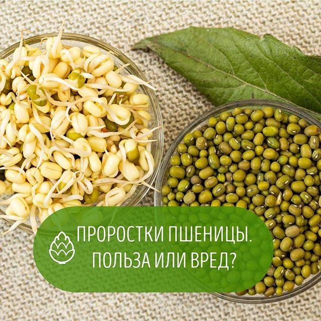 Расти зернышко!!! Что входит в состав ростков пшеницы? В одном зернышке содержится огромное количество питательных веществ, которые ежедневно нужны организму. Ростки пшеницы имеют следующий состав: ⠀ 🍃17 аминокислот. 🍃Витамины группы B, A, C, D, PP, F. Клетчатка. Протеин (белок). 🍃Полиненасыщенные жирные кислоты. 🍃Калий (регулирует водный баланс). 🍃Кремний (отвечает за костную ткань). 🍃Железо (переносит кислород по всем органам и тканям). 🍃Кальций (для роста и развития). 🍃Цинк (способствует обновлению клеток). 🍃Фолиевая кислота (необходима для синтеза клеток РНК и ДНК). 🍃Медь (способствует повышению иммунитета). 🍃Йод (необходим для нормальной работы щитовидной железы). 🍃Селен, хром и другие вещества. ⠀ Количество полезных веществ в пророщенной пшенице возрастает в несколько раз по сравнению с обычными зернами.🍃🍃🍃🍃 ⠀ ЧЕМ ПОЛЕЗНЫ?  Улучшают работу органов желудочно-кишечного тракта.  Выводят лишний холестерин.  Способствуют нормализации давления. Устраняют кислородное голодание.  Положительно влияют на работу щитовидной железы (особенно при сахарном диабете). Насыщают организм витаминами и микроэлементами.  Улучшают зрение и способствуют лечению глазных патологий. Укрепляют иммунную систему.  Нормализуют менструальный цикл. Помогают в лечении кожных заболеваний (экземы, псориаза, акне). Способствует улучшению памяти и мышлению. Укрепляют стенки сосудов.  Уменьшает уровень сахара в крови. ⠀ Блюда, где использовались ростки пшеницы, необходимо употреблять сразу после приготовления и не подвергать длительному хранению. 🌿🌿🐰🍃🍃 ⠀ ☝☝☝☝☝☝ ⠀ Несмотря на то что продукт в основном оказывает только благоприятное воздействие, существует и обратная сторона медали. В некоторых случаях нельзя употреблять ростки пшеницы. Вред они могут принести людям, страдающим язвенной болезнью желудка или кишечника. Вещества, содержащиеся в культуре, являются раздражителями для чувствительной слизистой поверхности органов пищеварения.