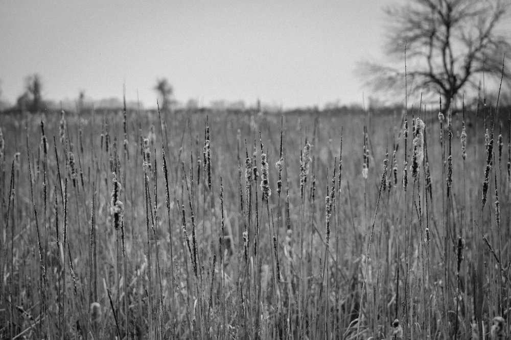 Cattails, Thousand Islands National Park