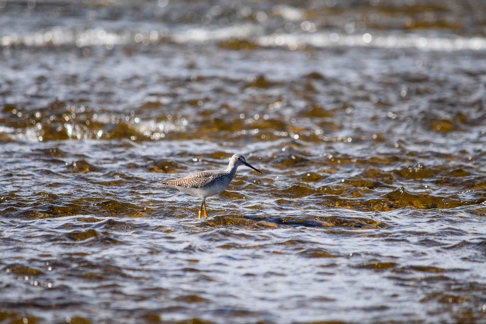 Yellowleg Sandpiper, Sandy Creek, New York