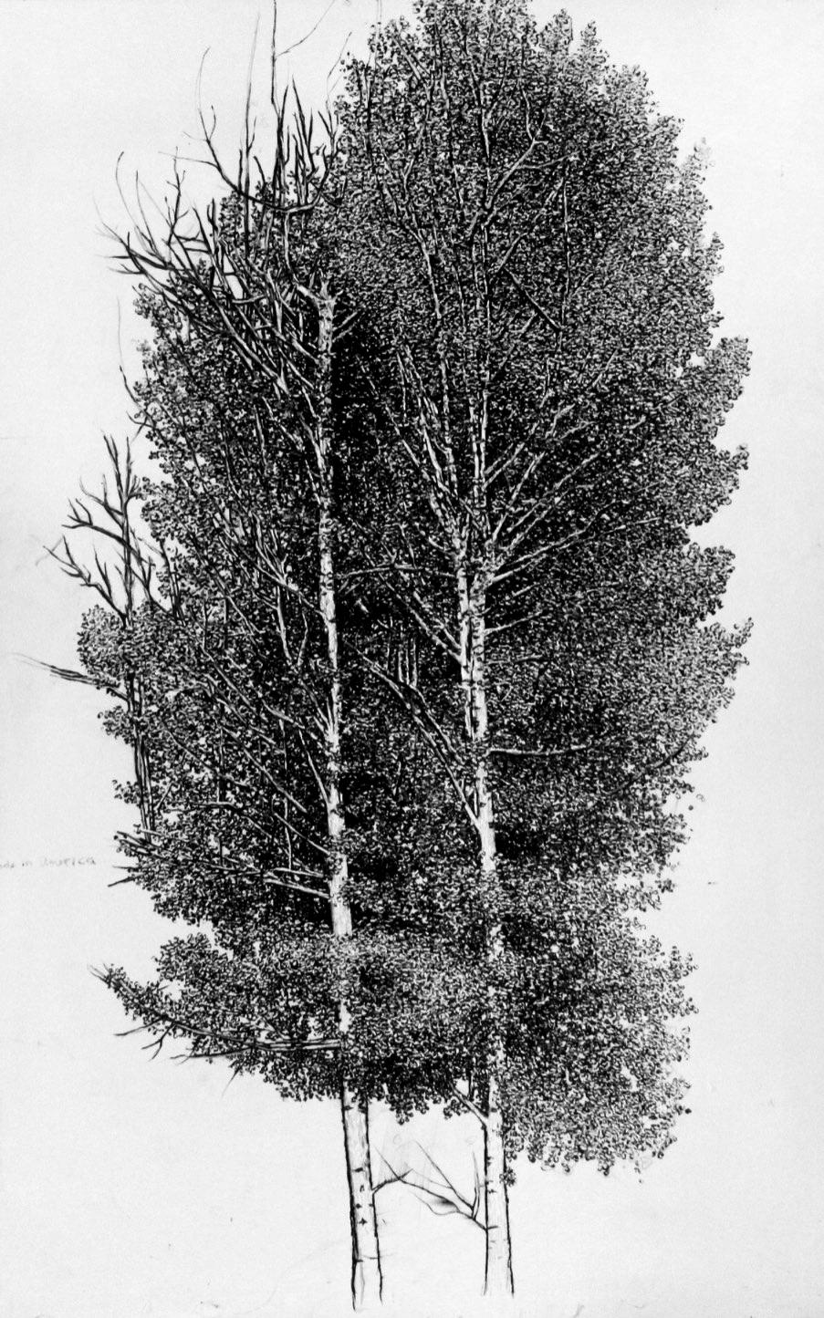 Aspen Tree.