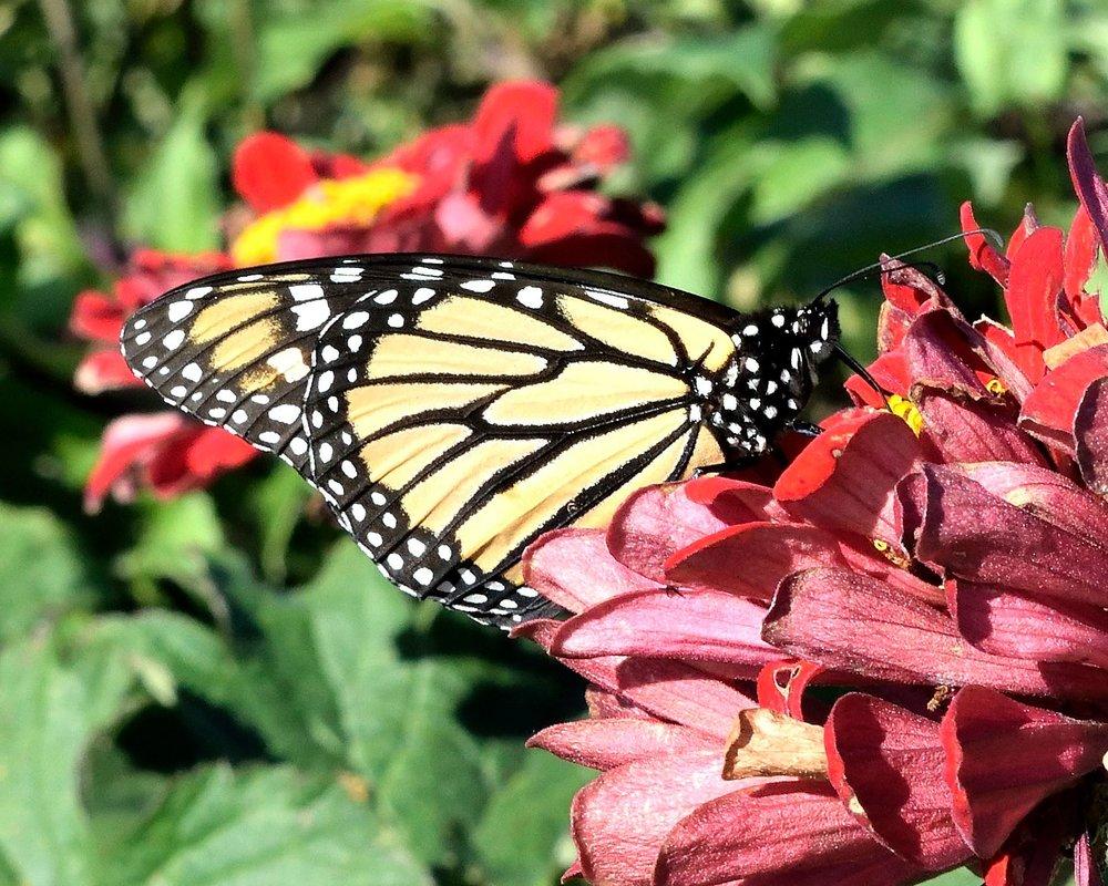 gardenbutterfly.jpg