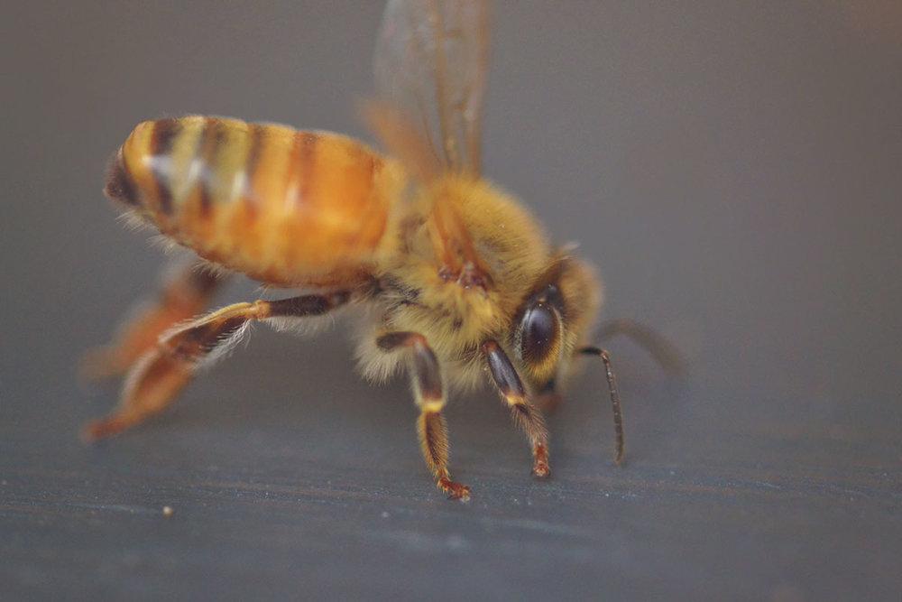Bees_4.jpg