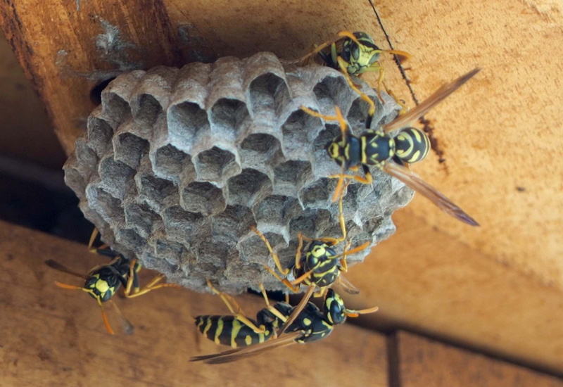 Early stages of a wasp nest where you can see the comb