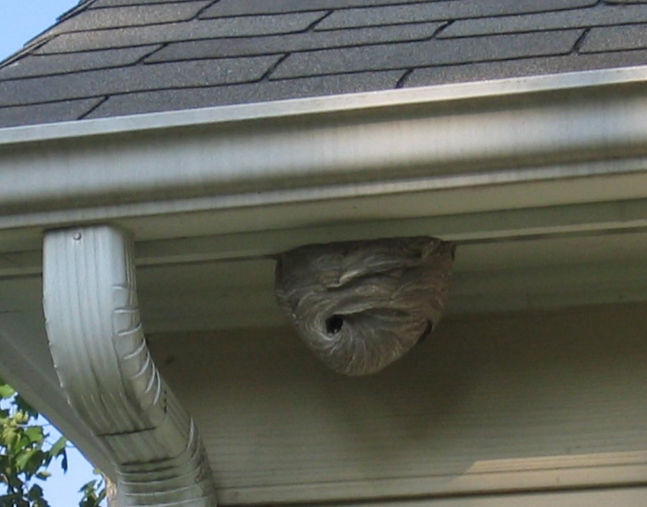 Later stage of a hornet nest where the comb is enclosed