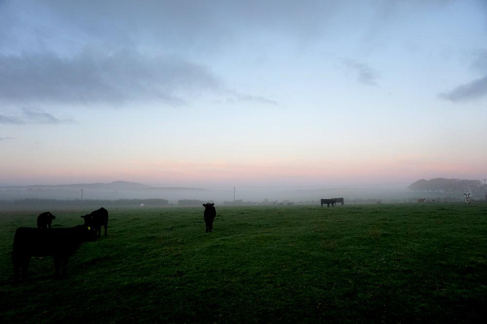 Cattle. October Morning.