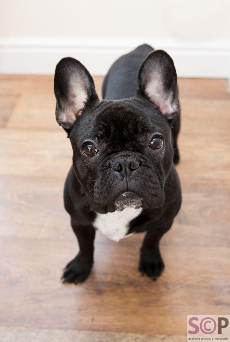 Handsome black french bulldog puppy