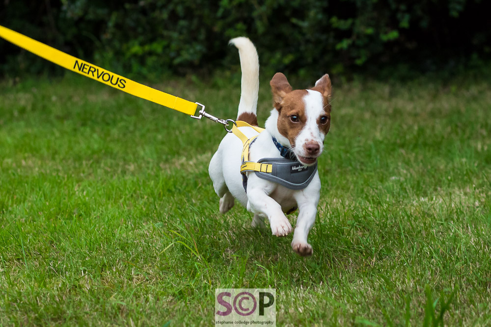 jack russell running on yellow nervous lead.jpg