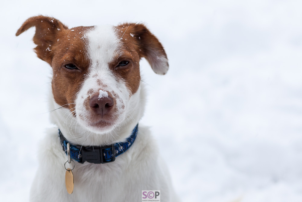 2 JRT snow Stephanie Colledge Photography_.jpg