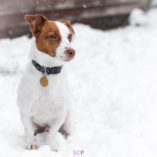 jack russell sitting in snow