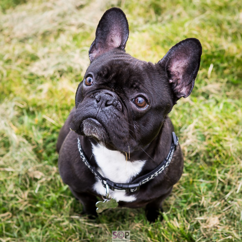 black french bulldog looking up