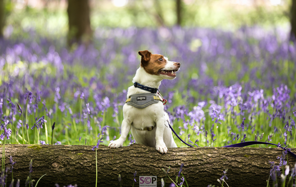 white and tan jack russell on a log in bluebells.jpg