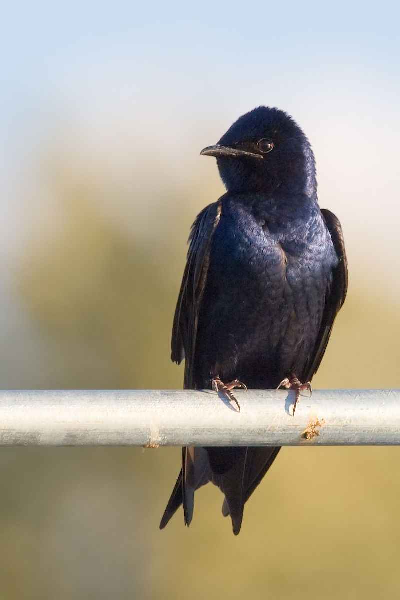 Purple Martin in Redmond, Washington, USA by JJ Cadiz,  Cajay