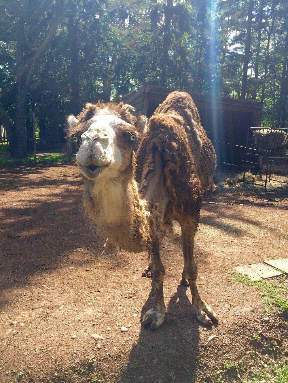 bailiwick ranch zoo camel