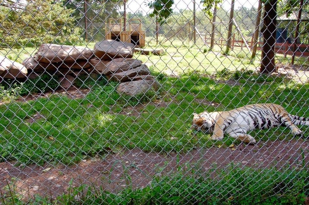 bailiwick zoo tiger