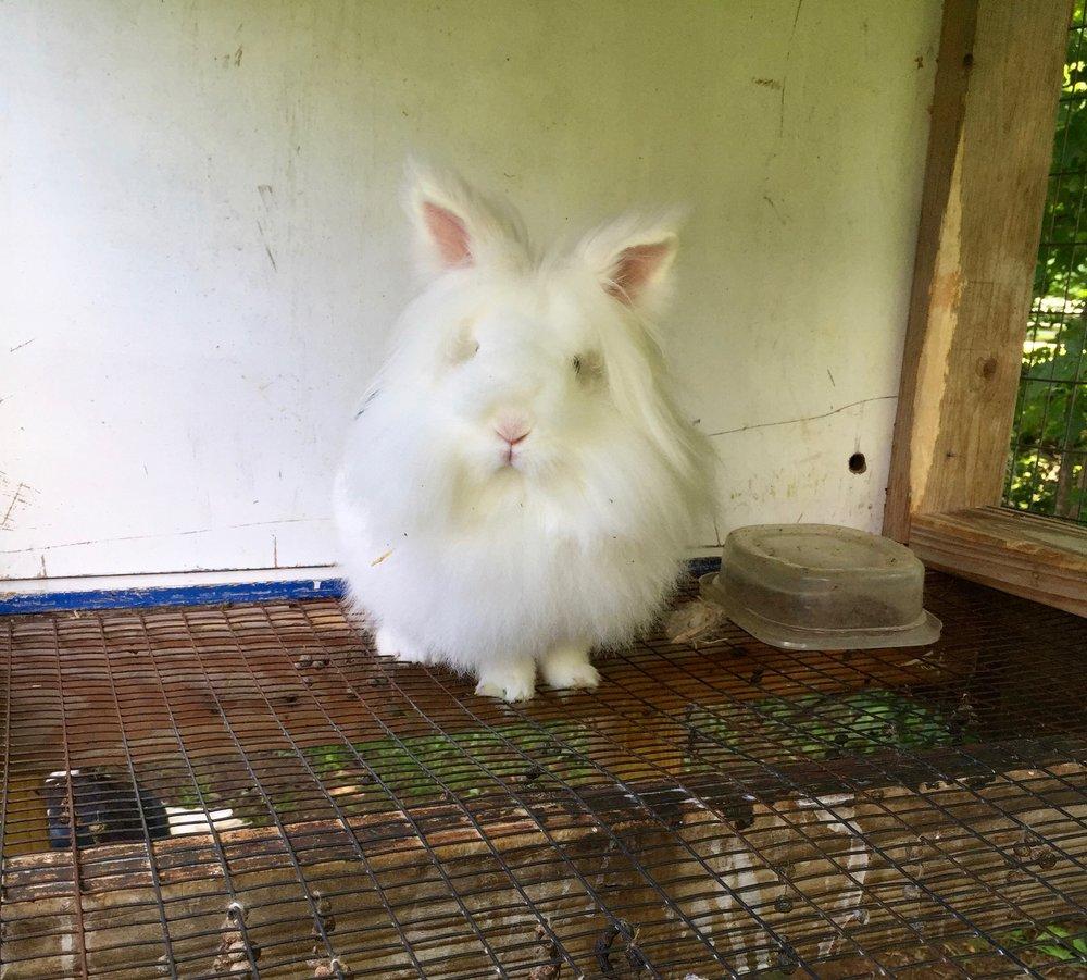 white lions head rabbit