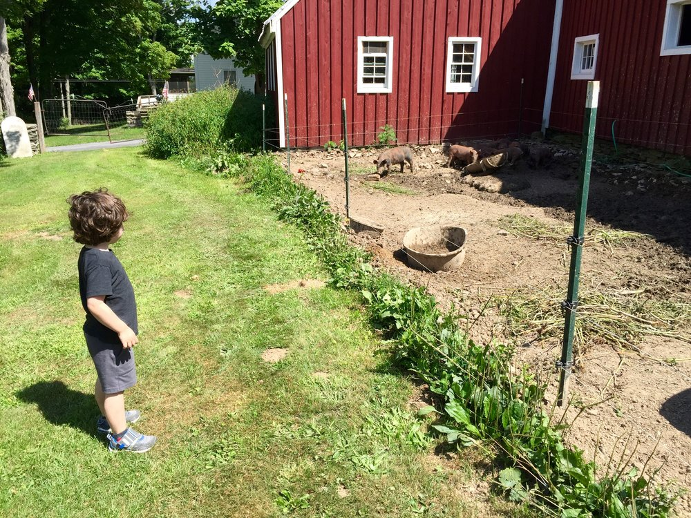 Archer checks out the pigs at  East Durham Farms