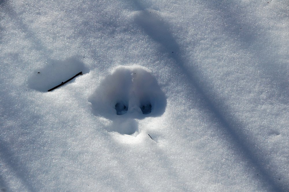 Snow is a gift to animal trackers. My  animal-expert son  says this footprint belongs to a deer.