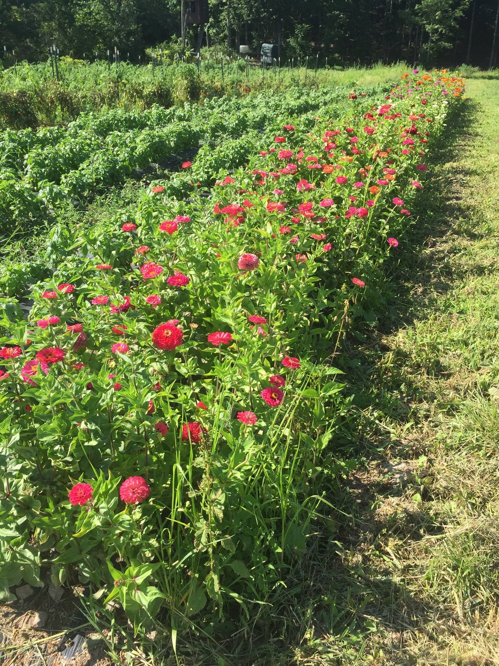 Zinnia field at East Durham Farms